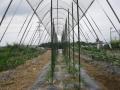 H26.6.28トマトに雨除け②@IMG_2227