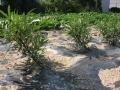 H26.7.17ピンク花ローゼルほぼ復活(拡大)@IMG_2396