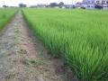 H26.7.20中干し中の畦の草刈り@IMG_2464