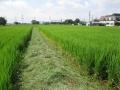 H26.8.16あいちのかおり出穂前の畦の草刈り@IMG_2691