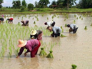320px-Tranplant-rice-tahiland.jpg
