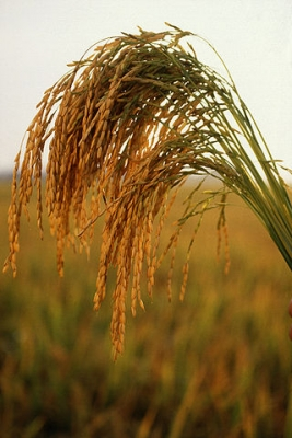long_grain_rice.jpg