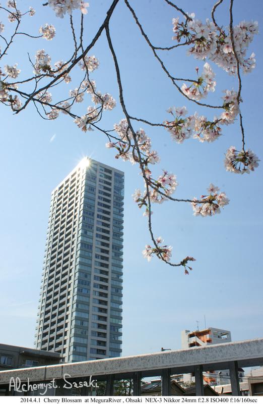 桜DSC08347