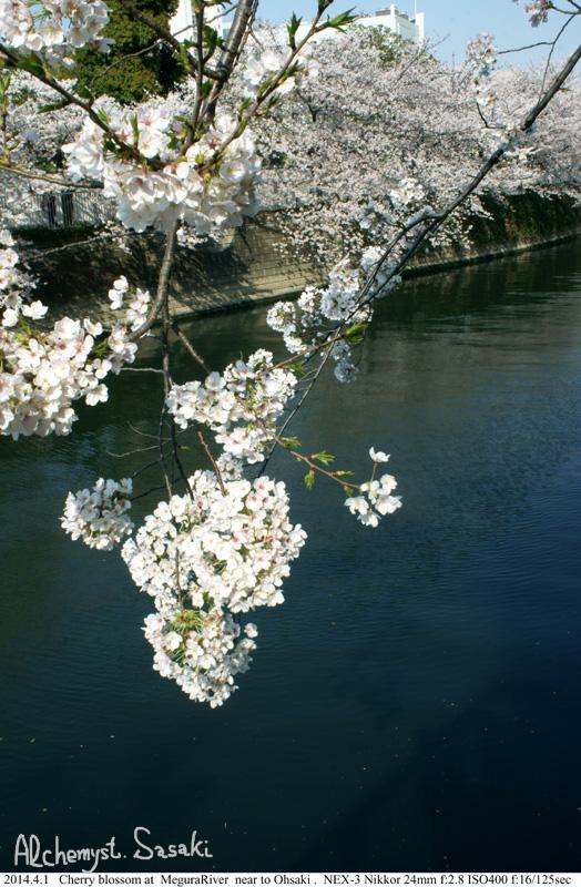 桜DSC08364