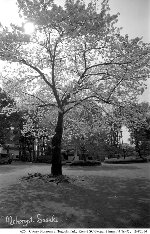 戸越の桜626-4