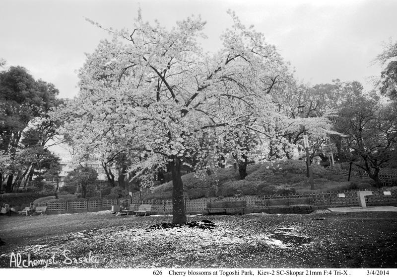 戸越の桜626-22