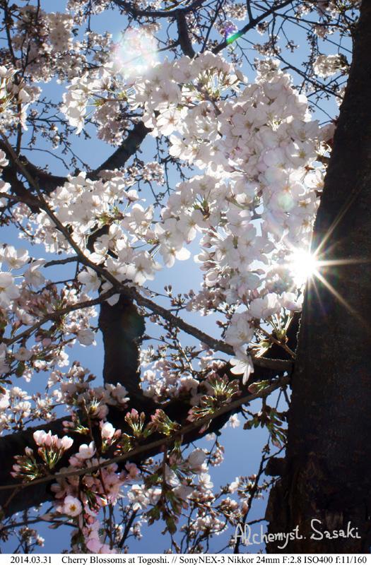 桜DSC08115 Ⅱ