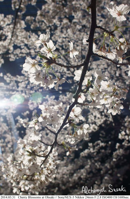 桜DSC08177