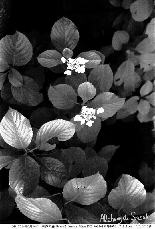 紫陽花642-25