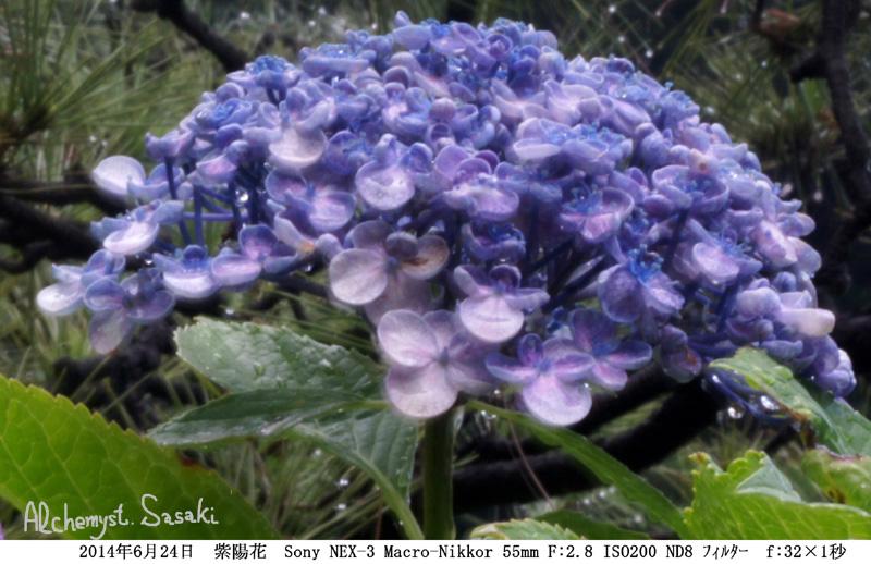 紫陽花DSC00050