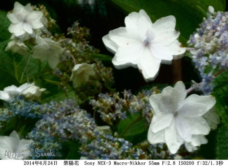 紫陽花DSC00103b