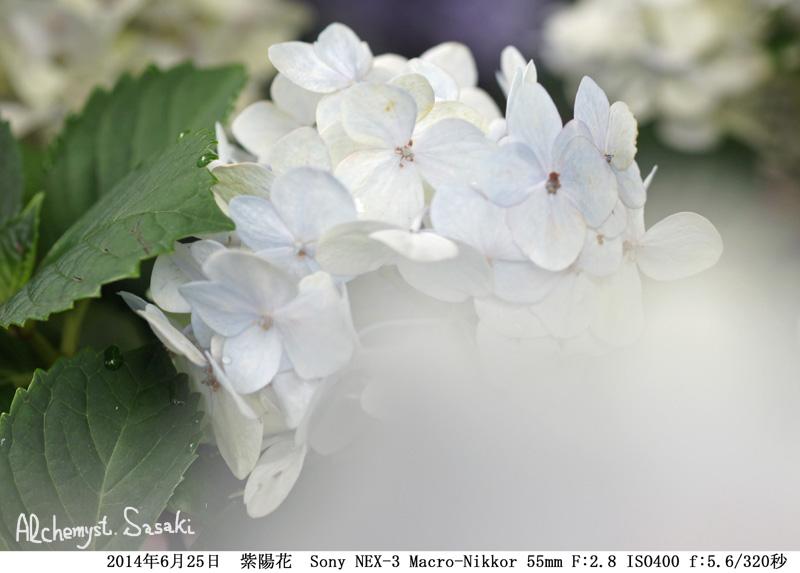 紫陽花DSC00202