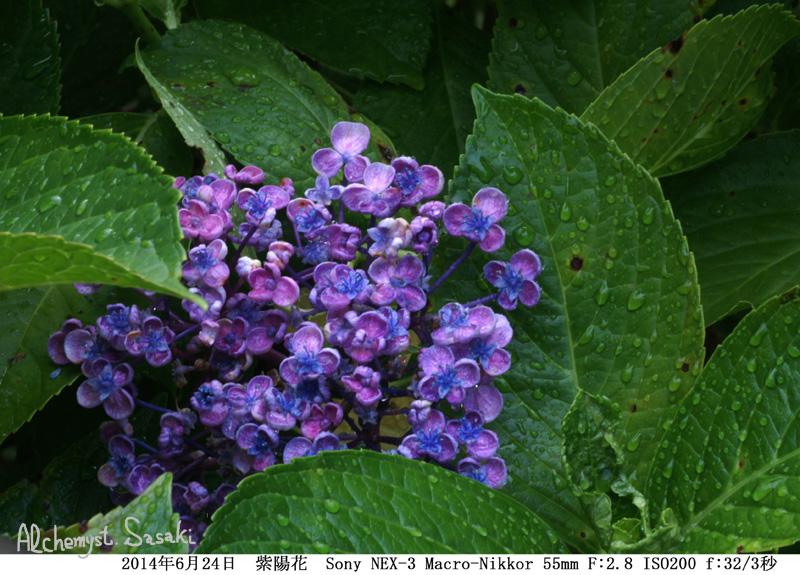 紫陽花DSC00069