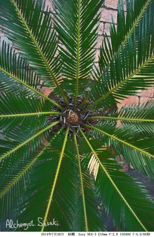棕櫚カラーDSC1504