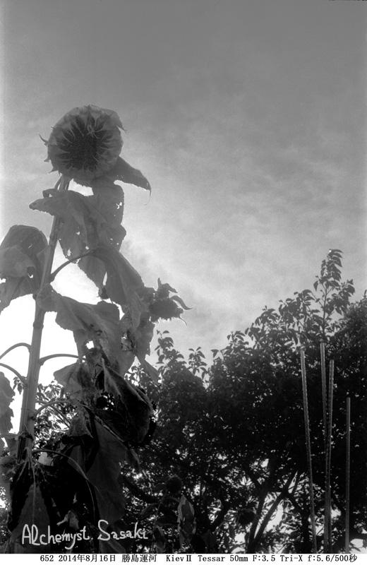 枯れ向日葵652-13 Ⅱ