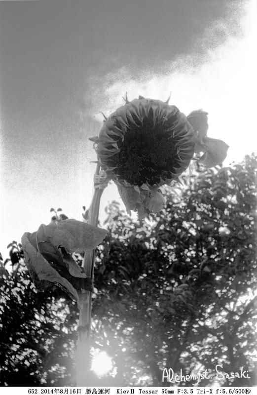 枯れ向日葵652-10