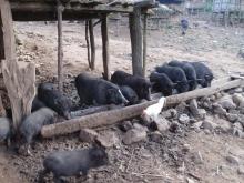 pigs+2_convert_20140617220543