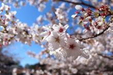 超誇大妄想狂の日常-桜2