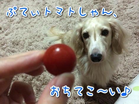 ぷてぃトマトしゃん、おちてこ~い♪