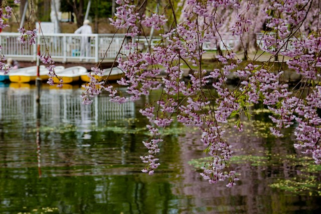 枝垂れ桜_月寒公園にて