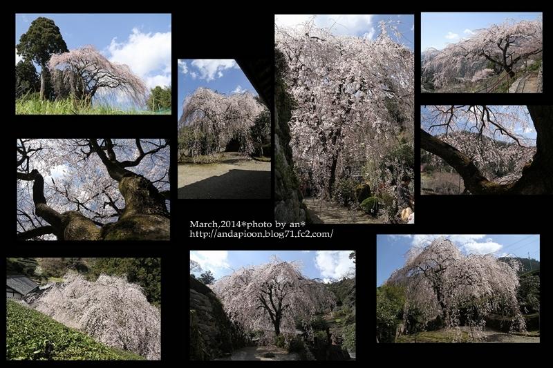 ひょうたん桜としだれ桜3・271