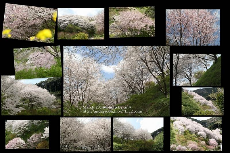 宮地さんちの桜3・30