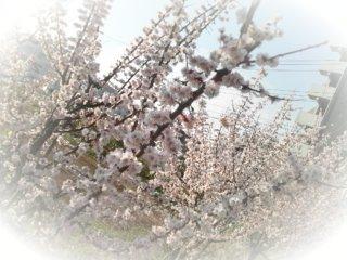 Anella@cherry blossoms
