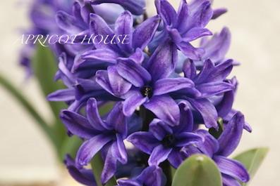 140315ヒヤシンス紫