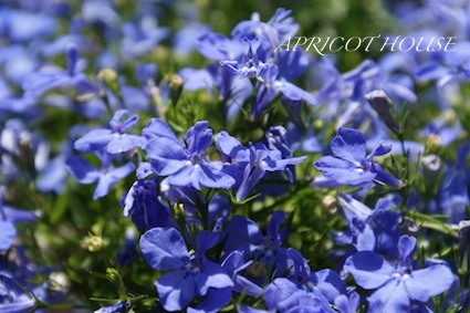 140512ロベリア薄青