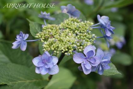 140601紫陽花