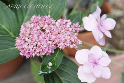 140608紫陽花ピンク