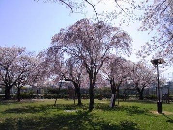 20140407ヤエベニシダレ(健康広場) (3)