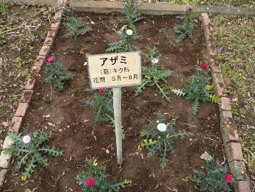 20140417アザミ(野草園) (1)