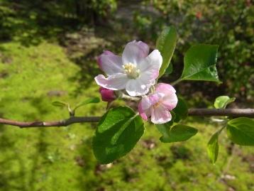 20140413ヒメリンゴ (1)