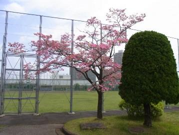 20140422ハナミズキ(野球場横) (4)