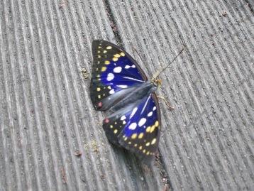 20140601オオムラサキ成虫 (4)圧縮