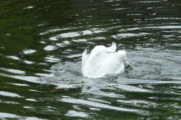20140725白鳥 (3)