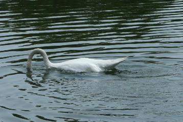 20140725白鳥 (6)