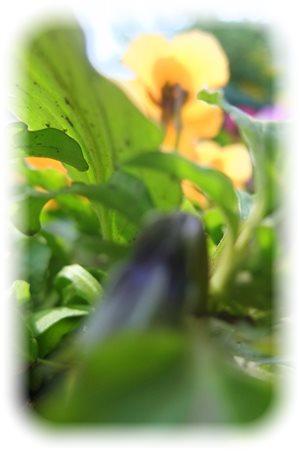 ビオラの葉
