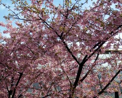 早咲き桜。
