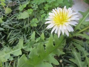 白花たんぽぽ-web