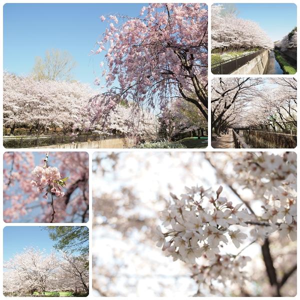 sakura-biyori-a.jpg