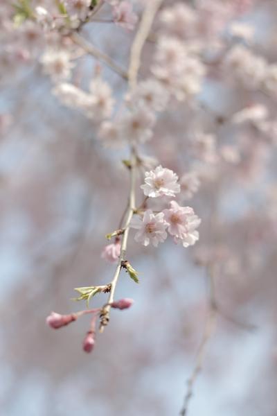 sakura-biyori-b.jpg
