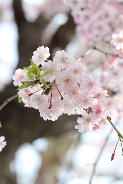 sakura-biyori-c.jpg