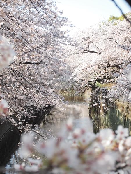 sakura-biyori.jpg