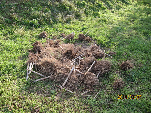 掘り出した根