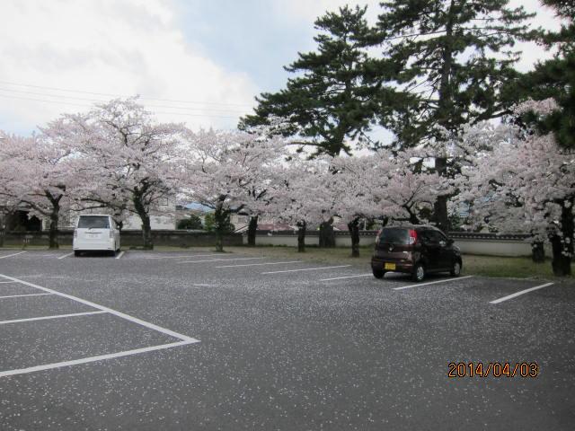 松陰神社の桜