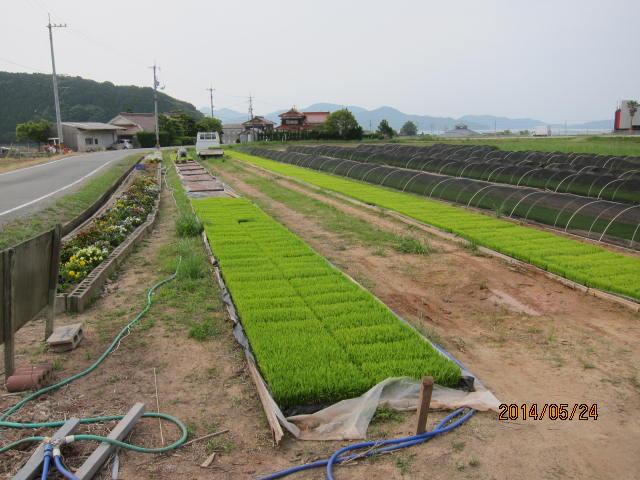 田植えが始まったコシヒカリの苗