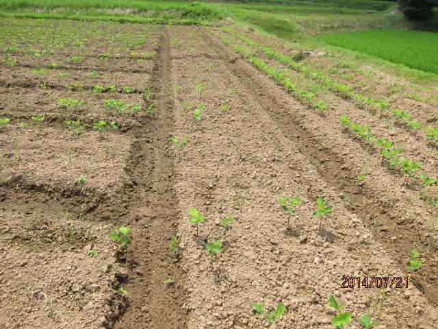大豆の芽が出ていない畝