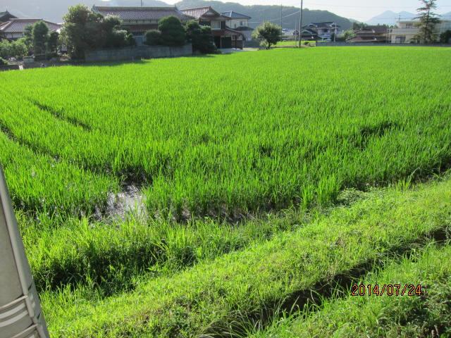 ヒトメボレの水田